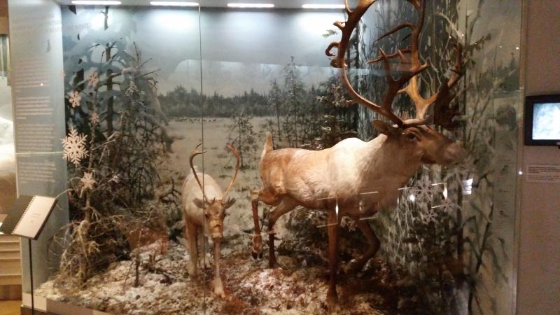 Luomus_Helsinki_Reindeer_diorama