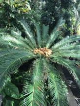 palm_tree_bothanic_garden